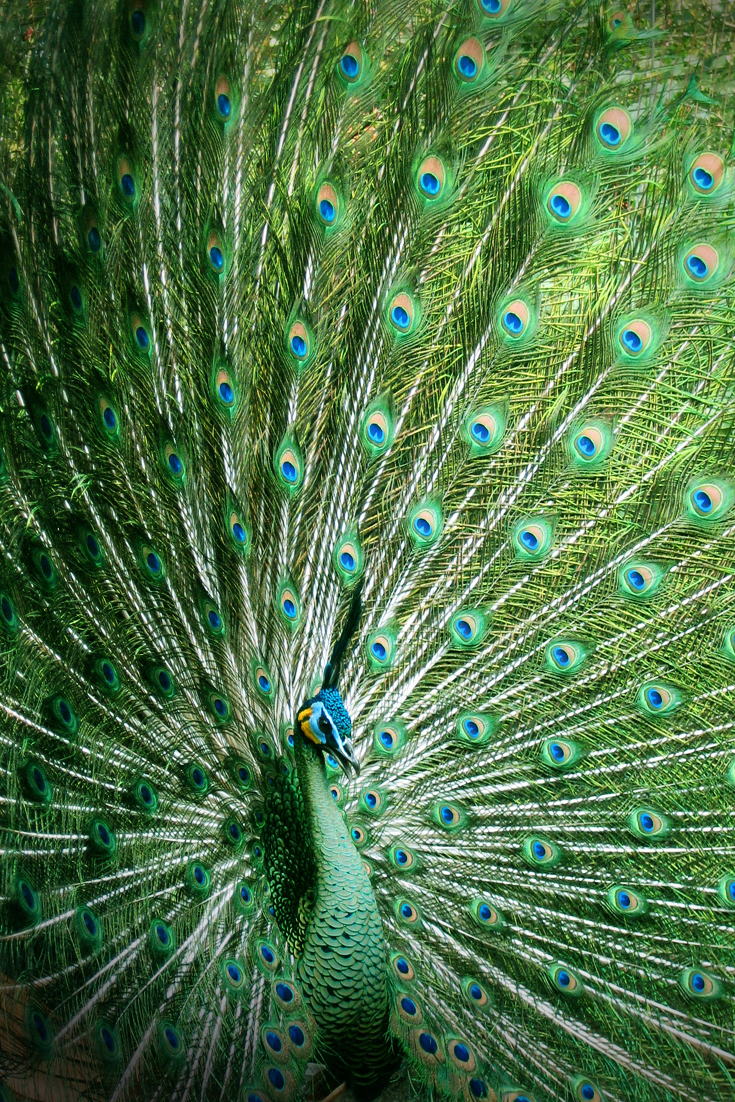 Peacock - Enjoying the Journey